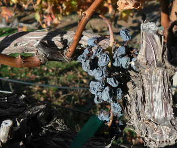 Old Vine with Withering Grapes 7 Reasons & 1 Sign Twitter Lists Are Dying On The Vine