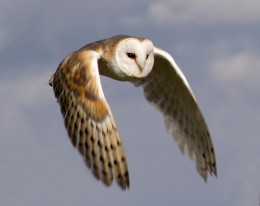 barn owl in flight small 260x206 Hootsuite Lite iPhone App Now Lets You Check in On Foursquare