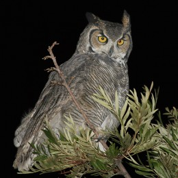 great horned owl tree 260x260 HootSuite Offers Private Beta For BlackBerry.