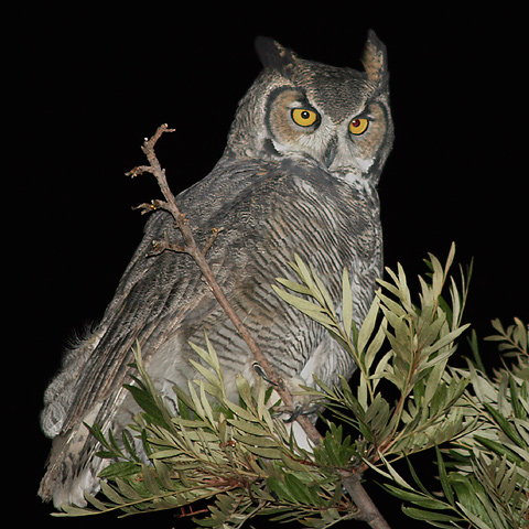 great-horned-owl-tree