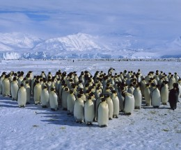 Emperor Penguin Colony Cape Roget Ross Sea Antarctica 260x216 The current beat of Silicon Valley pumps through Quora and Plancast