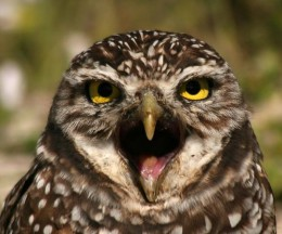 burrowing owl eye to eye max allen 260x216 Promoted tweets coming to Hootsuite and Tweetdeck.