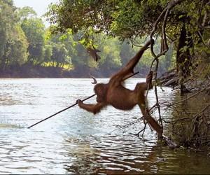 Orangutan Fishing