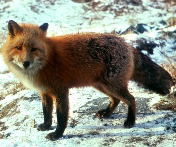 red_fox_on_snow
