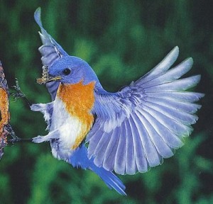 blue bird missouri 300x288 6 Twitter Tips for Small Business Beginners