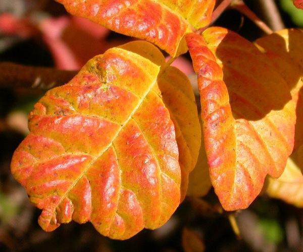 Pacific-Poison-Oak