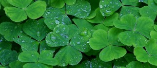 daughters_of_light_green_clover_st_patricks_day_ireland
