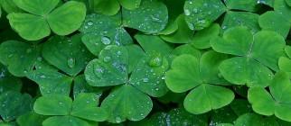 daughters_of_light_green_clover_st_patricks_day_ireland