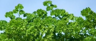 parsley_-_curly_-_lg