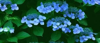 little-blue-flowers_1024x768_15509