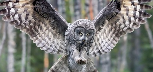 15__Owl_-_Forest_Birds_Wallpaper