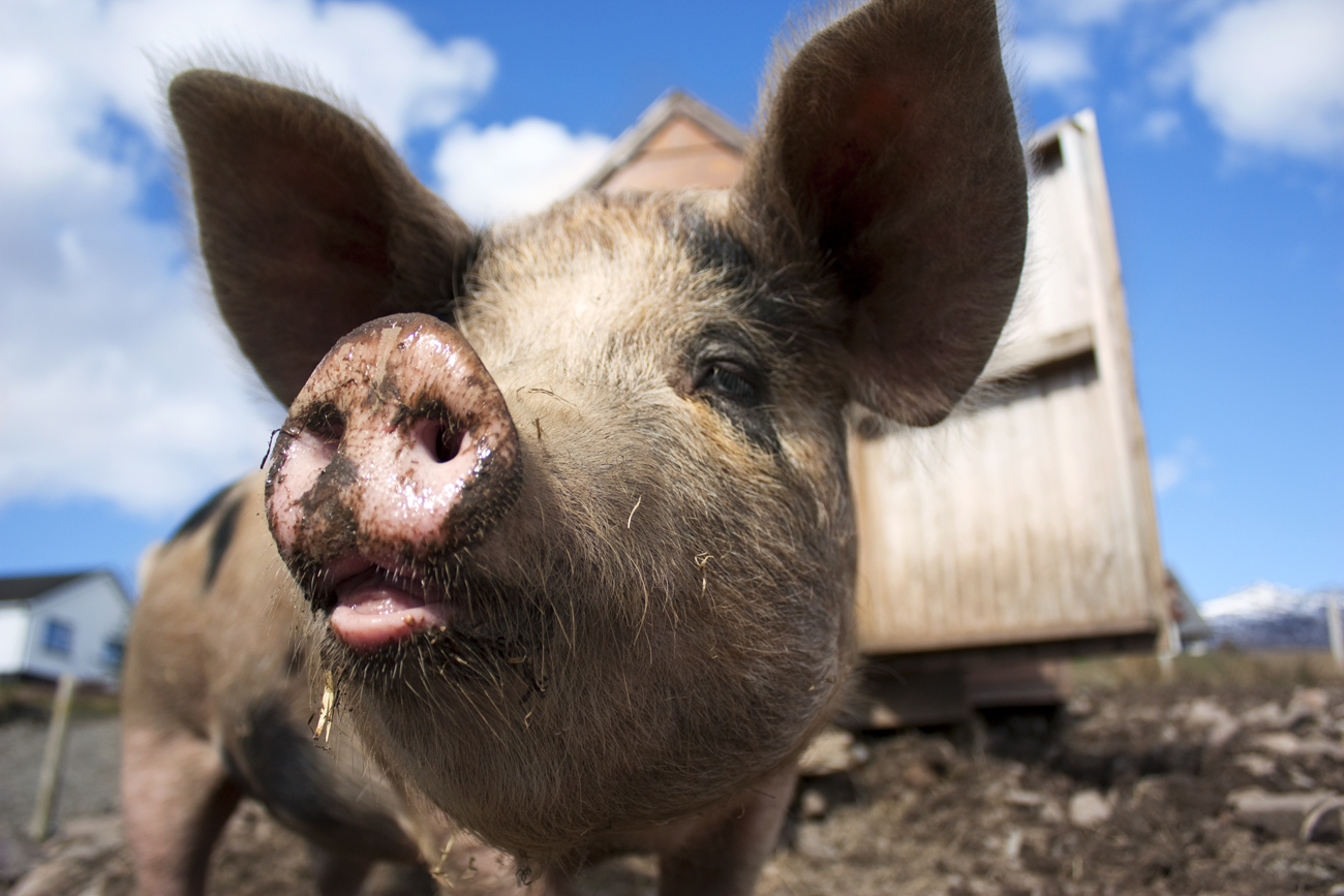Google's new energy investment is all about pigs