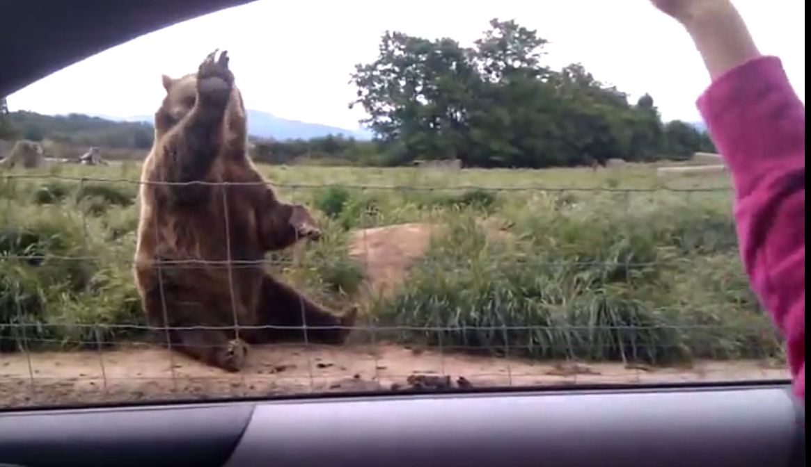 Just a bear, waving hello. No big deal.