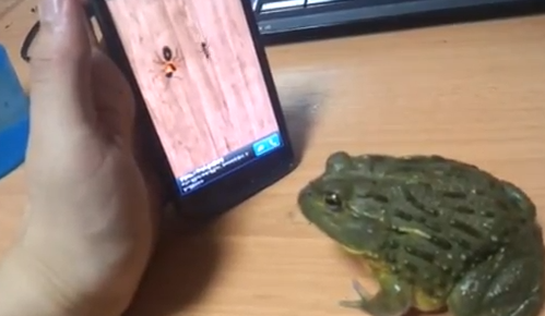 Here's why you don't taunt your Pacman frog with your smartphone