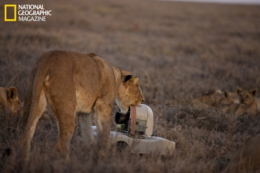 A Lioness Gets To Know New Creature On The Savanna CNational Geographic Michael Nichols
