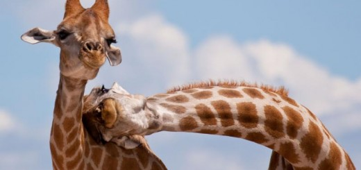 Necking Giraffes