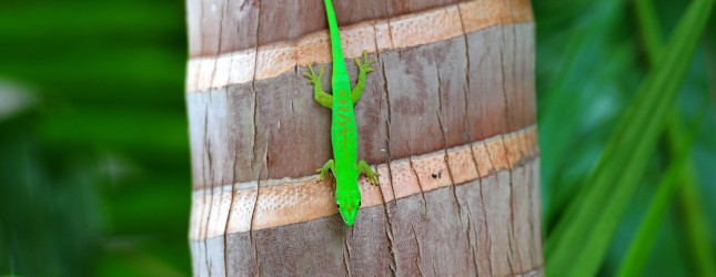 A green Gecko is seen on a palm at Valle
