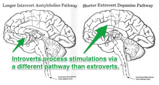 introvert extrovert brains