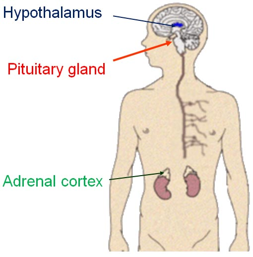 The Pituitary Adrenal System How to cure stage fright: The science behind public speaking