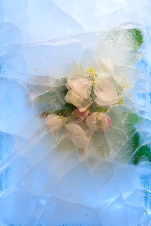 foryouinf | Frozen flowers of apple tree