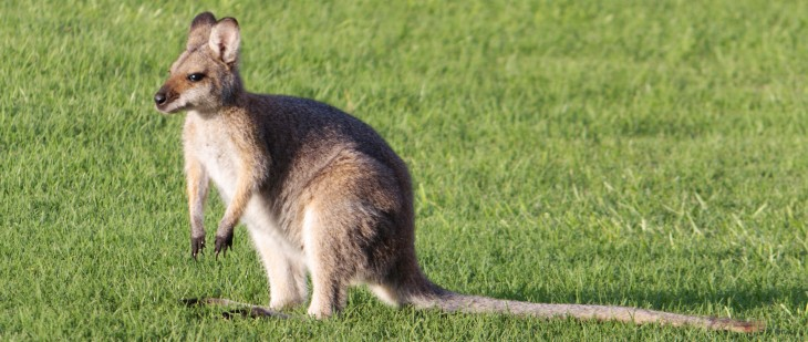 wallaby app iphone