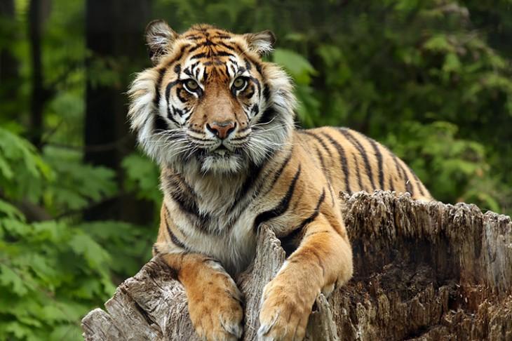Sumatran tiger photo by mlorenz