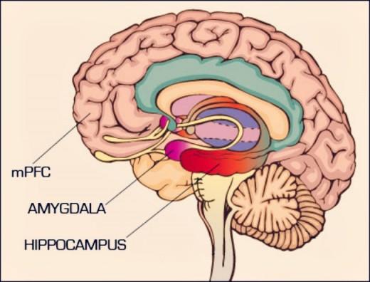 mpfc-and-amygdala