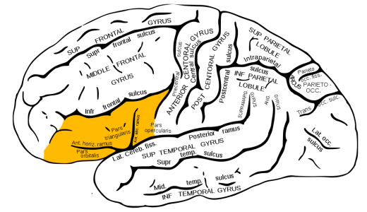 Gray726_inferior_frontal_gyrus