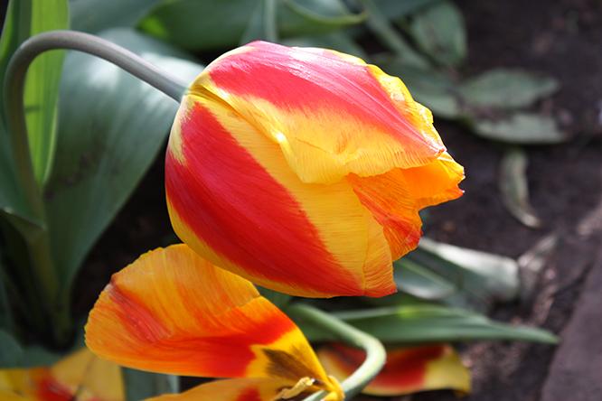 tuliplegoorig
