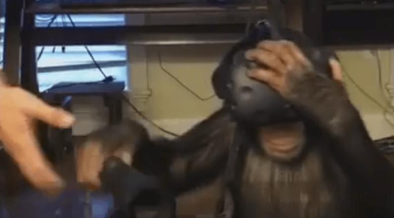 virtual reality, chimp