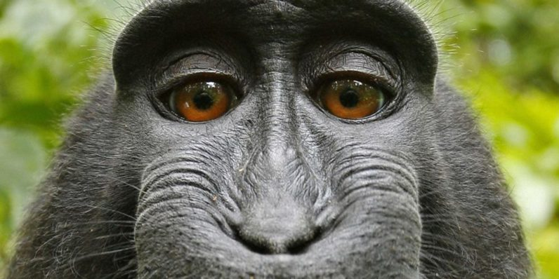 This monkey's selfie could determine the future of AI copyright