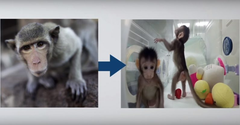 Cloning monkeys might not be a good thing