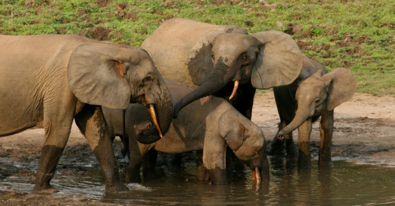 A new anti-poaching project will use GPS to save Gabon's elephants