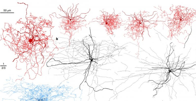 Scientists discover human brain cell that's not found in mice | GeekWire