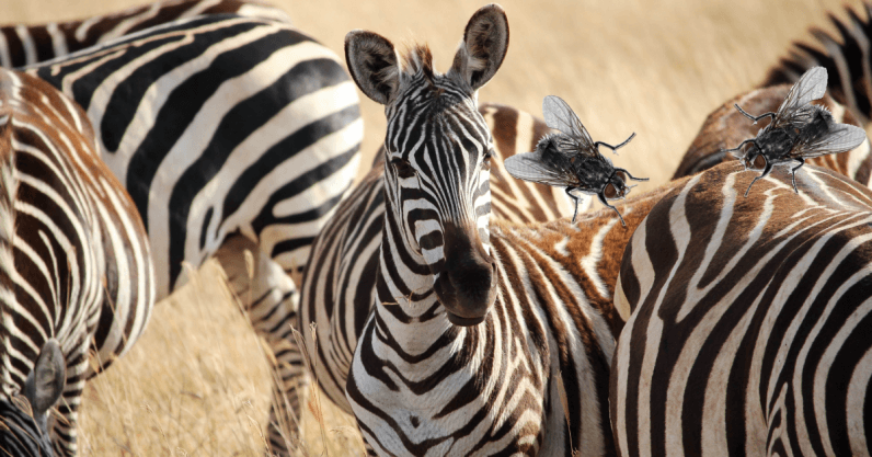 Scientists say flies don't like zebra stripes