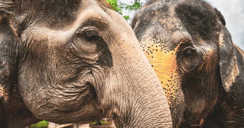 Research: Climate change helped elephants evolve a large brain