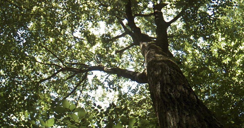 This century-old oak tree is live-tweeting climate change