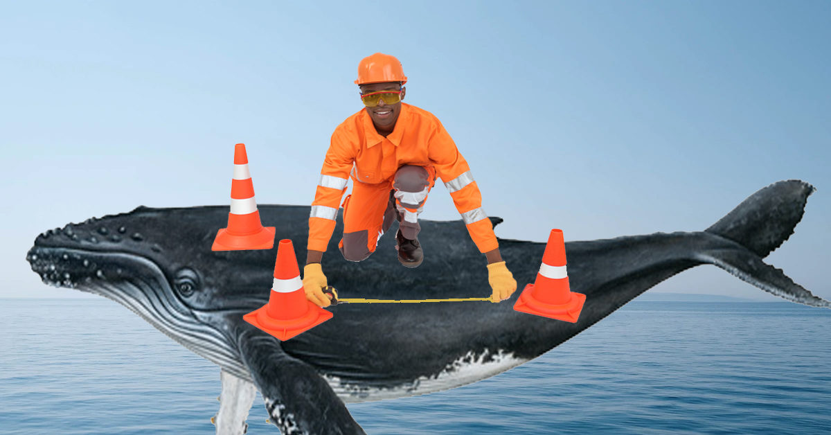How do you weigh a whale without bothering it? Drones