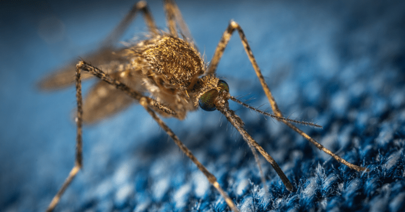 Genetically modifying mosquitoes to prevent disease carries unknown risks