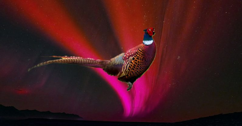 Research: Ancient Japan's red flying pheasant may have been an aurora